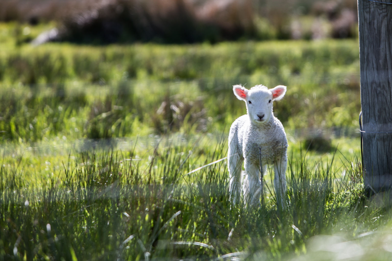 Leviticus 14:12: Take the one male lamb
